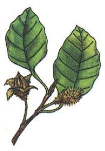 1. Buk lesní