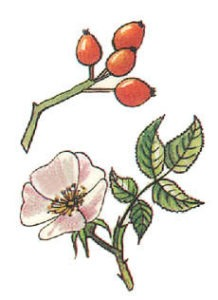 5. Růže šípková